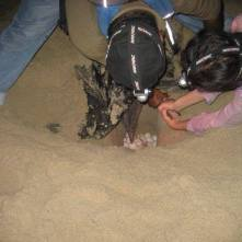 Helping leatherbacks laying eggs. Photo by Cigdem Adem