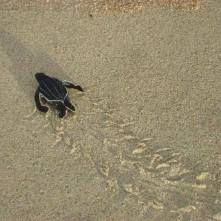 Leatherback baby. Photo by Cigdem Adem